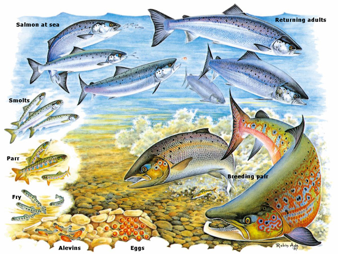 The salmon lifecycle. An illustration by Robin Ade. Reproduced for education purposes from the Atlantic Salmon Trust website.