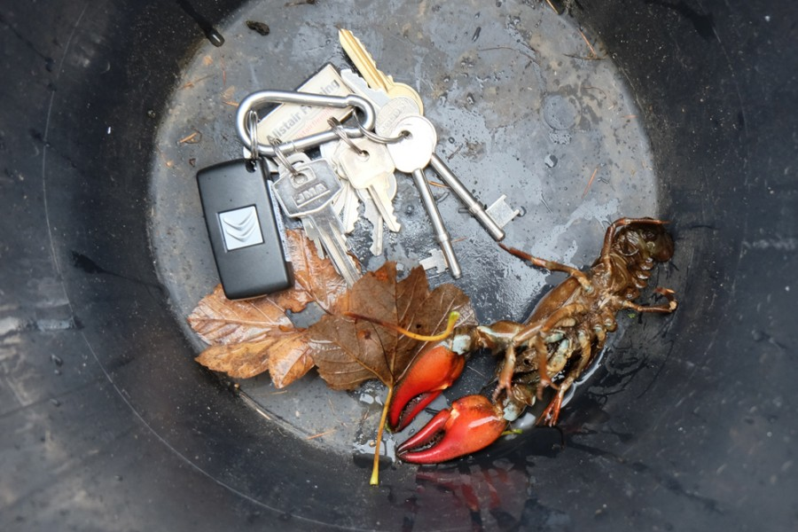 An American Signal Crayfish trapped in the Ayr catchment by the trust staff