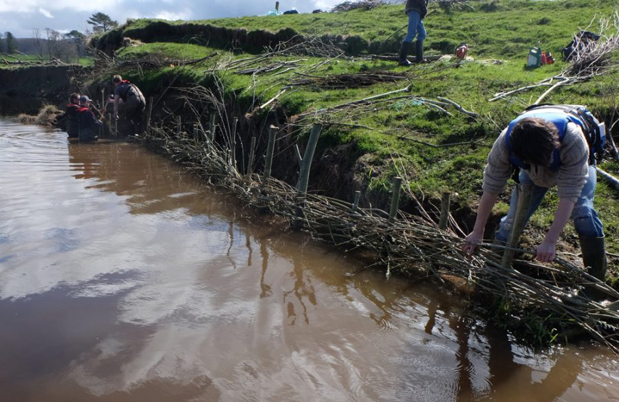 Willow spilling being installed on the grin to cut bank erosion.